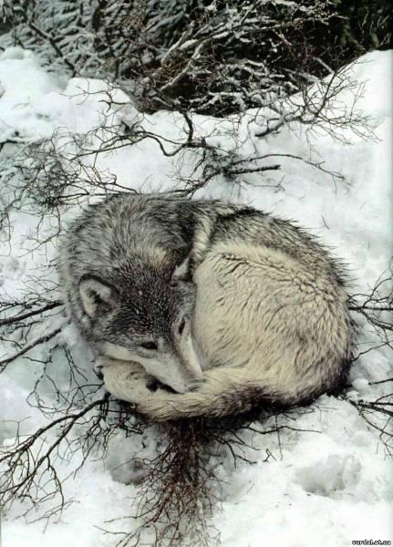 волки фото галерея: